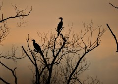 cormorans-1381022760-1579982.jpg